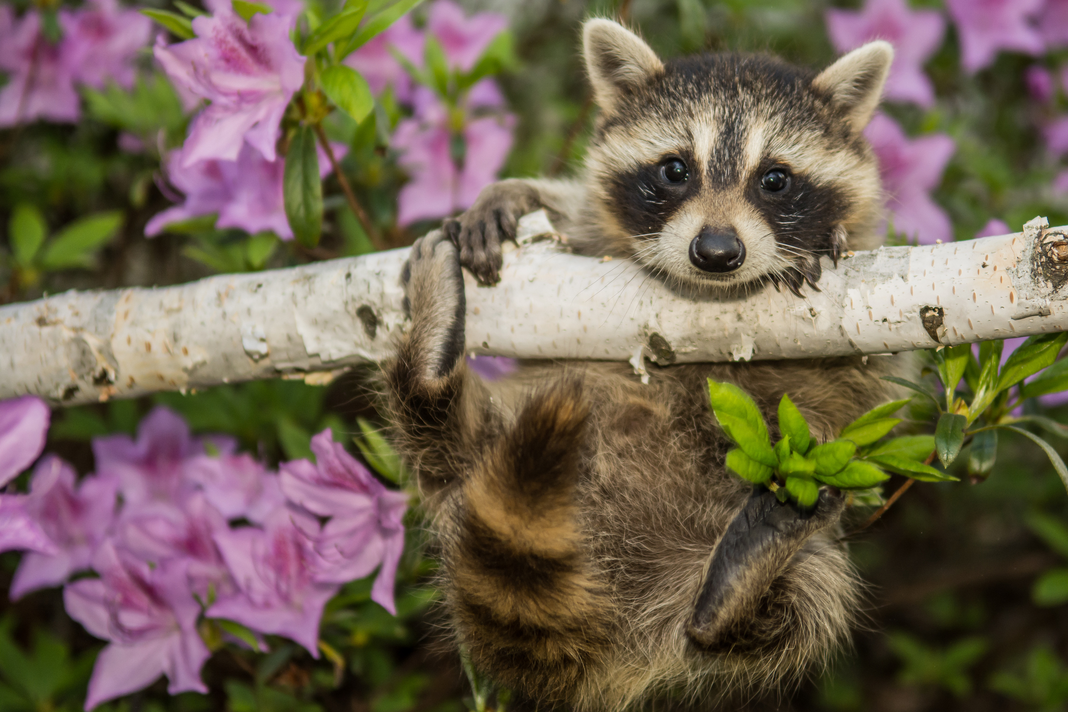 Keep your prized blossoms protected from pests with a composite fence albaugh sons How to keep raccoons out of garden